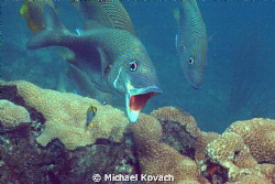 White Grunt seeking cleaning from juvenile Porkfish near ... by Michael Kovach 